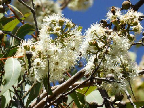 https://austplants.com.au/resources/Pictures/Main/PlantProfileImages/Corymbia%20maculata%20hm.jpg