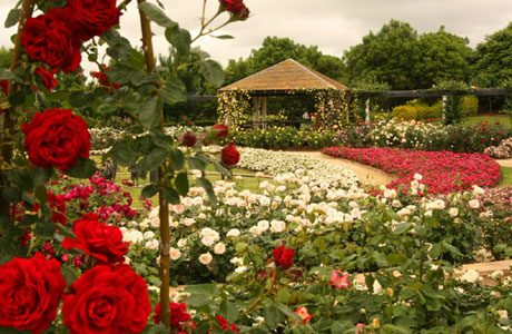 Winter Rose Pruning at Hunter valley Gardens